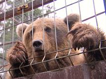 Медведь за решёткой