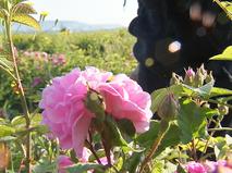 Розы в Крыму