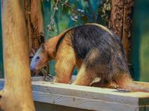 В Московском зоопарке появились четырехпалые муравьеды тамандуа