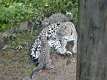 Переднеазиатский леопард с детёнышами