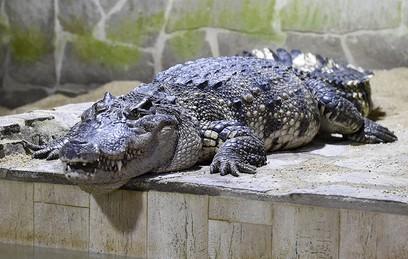 Крокодил Кастро набросился на шведского пенсионера