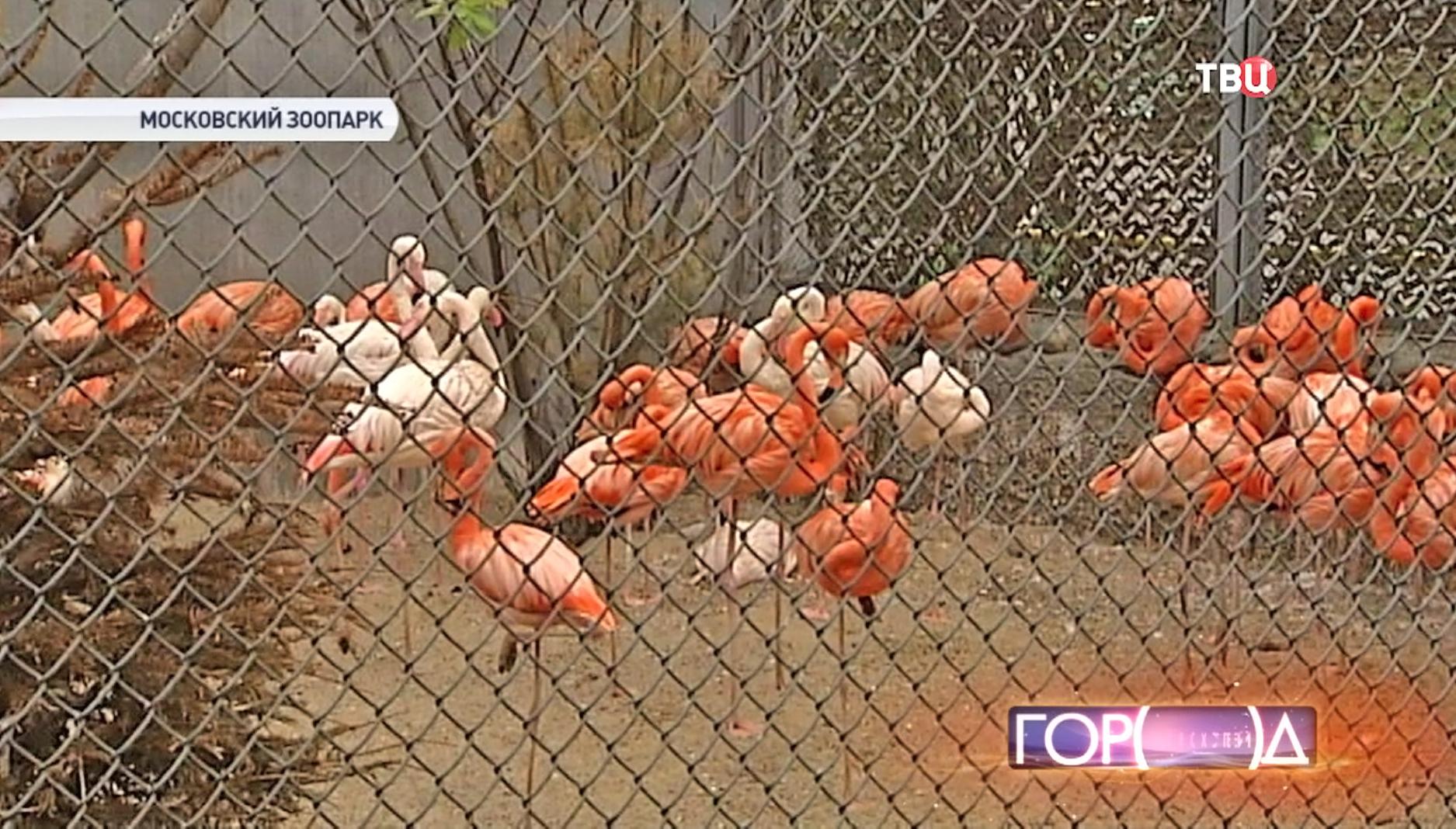 Розовые фламинго в Московском зоопарке
