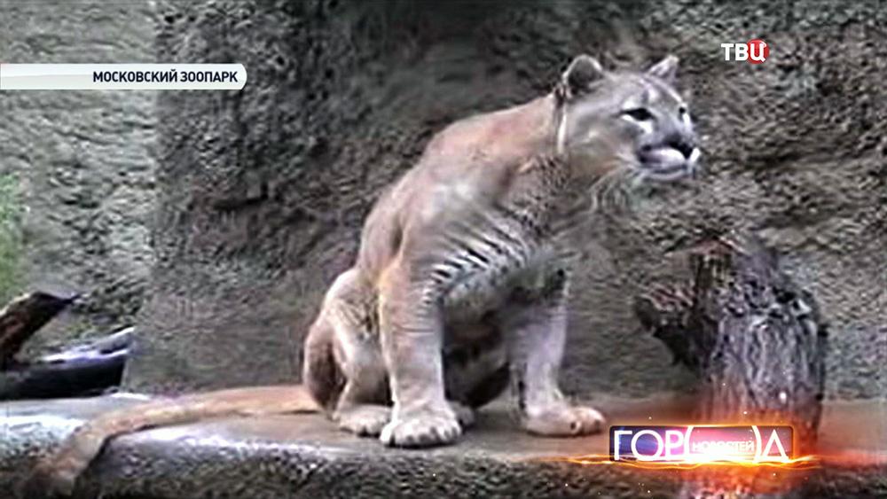 Пума в Московском зоопарке