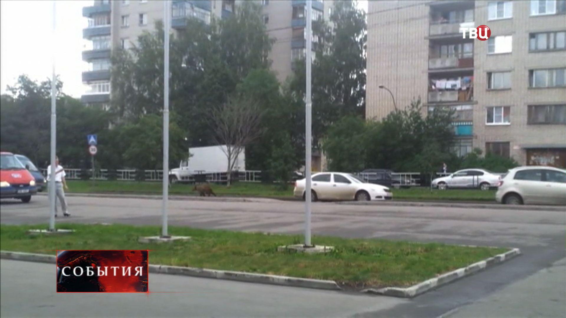 Медведь бежит по улицам Вологды