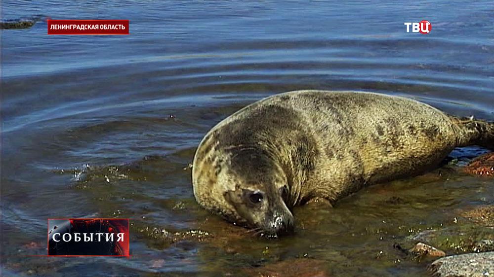 Тюлень в Ленинградской области