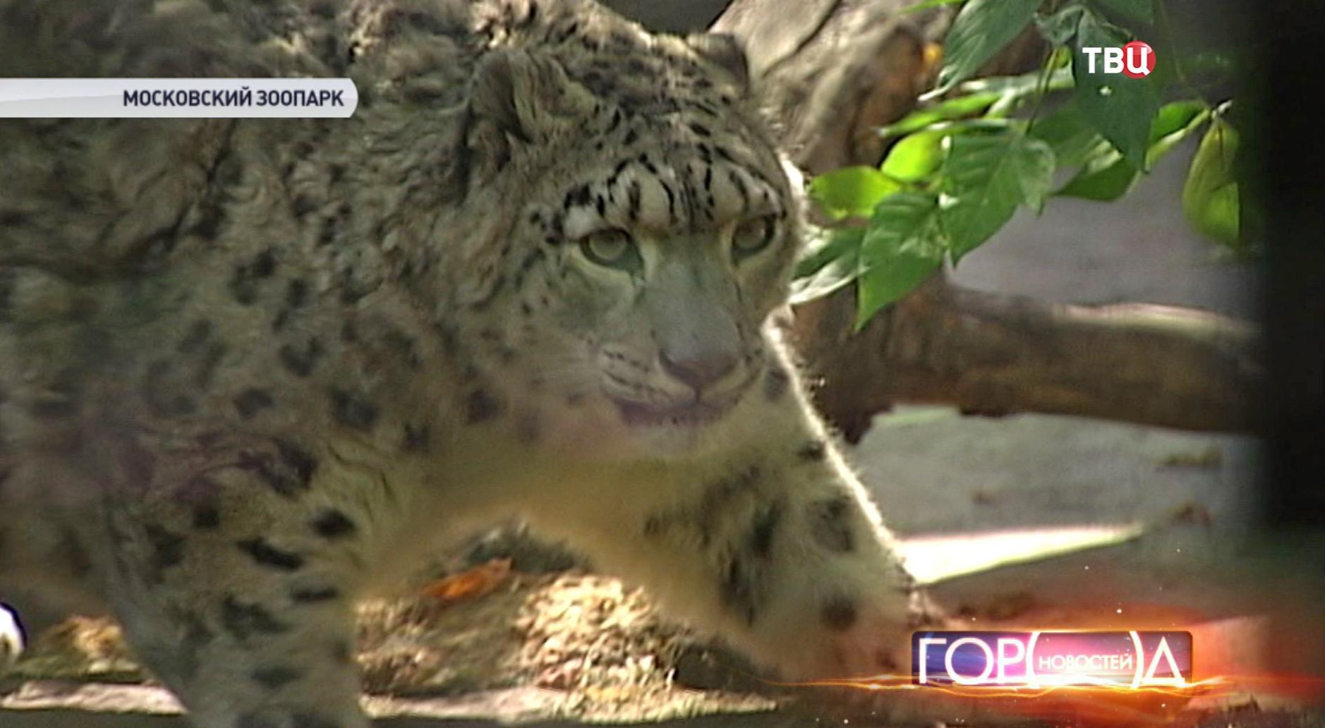 Барс в Московском зоопарке