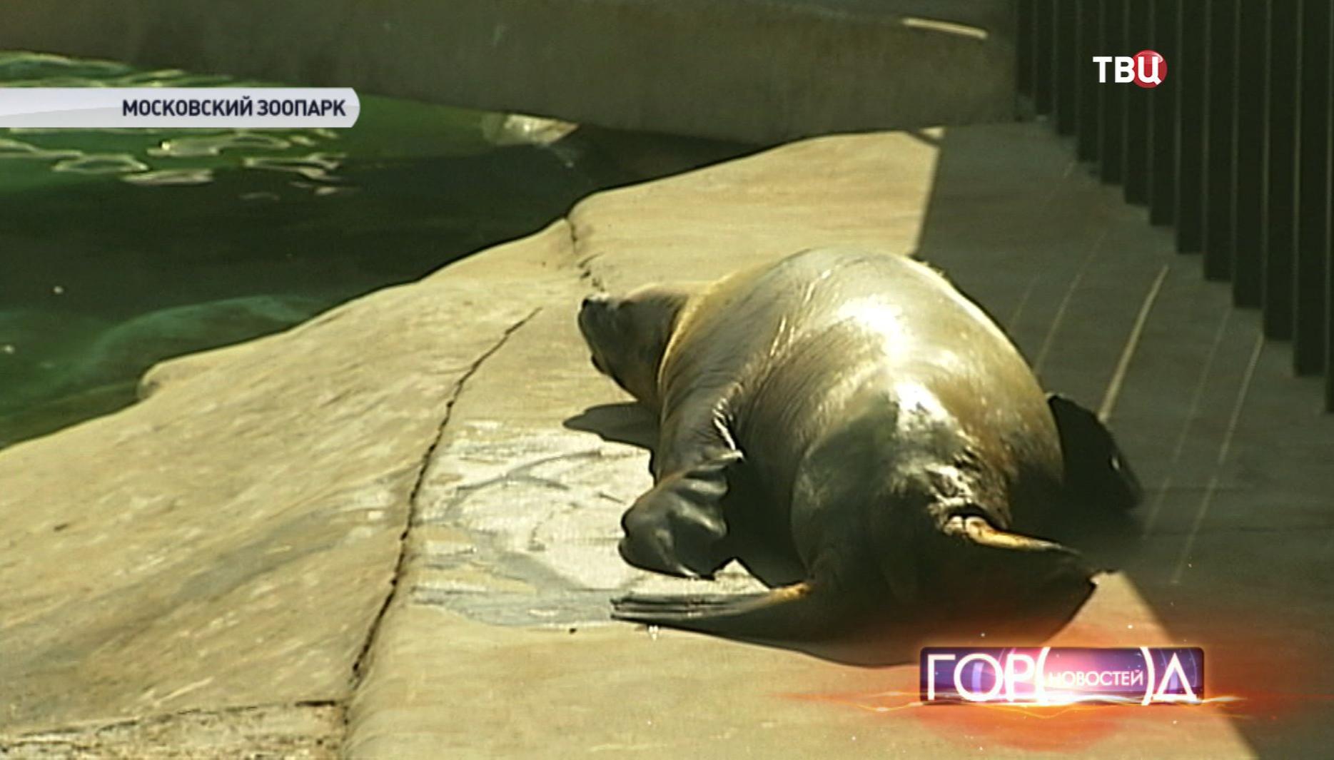 Тюлень в Московском зоопарке