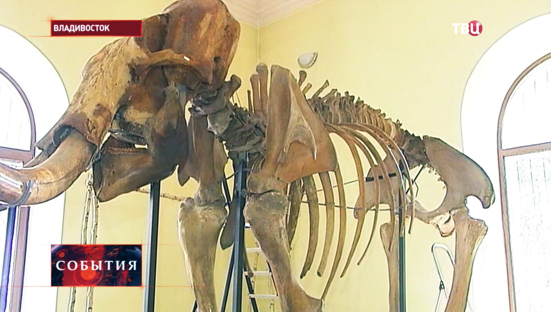 Скелет взрослого мамонта на выставке во Владивостоке