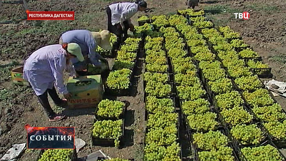 Сбор винограда в Дагестанские