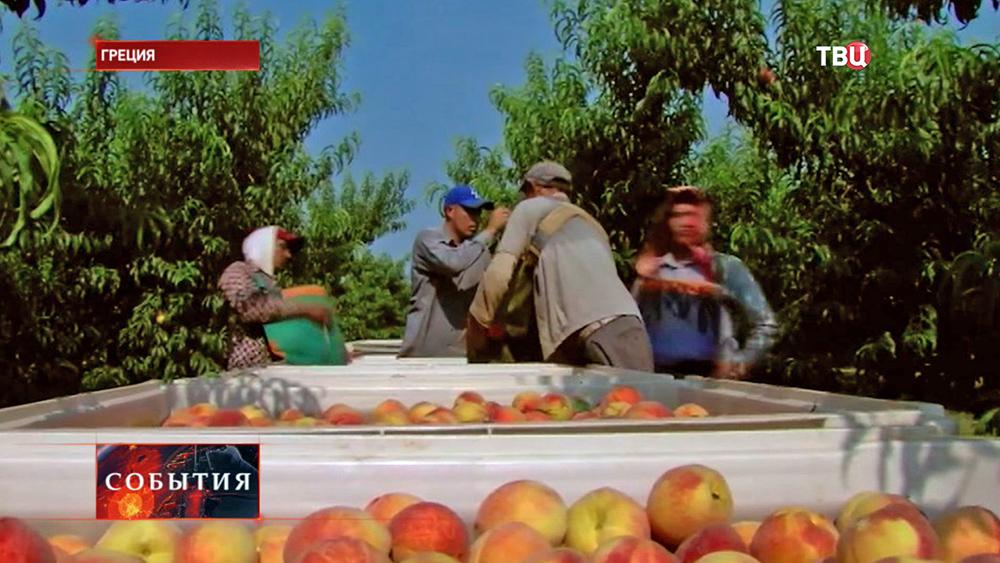 Фермеры собирают урожай в Греции