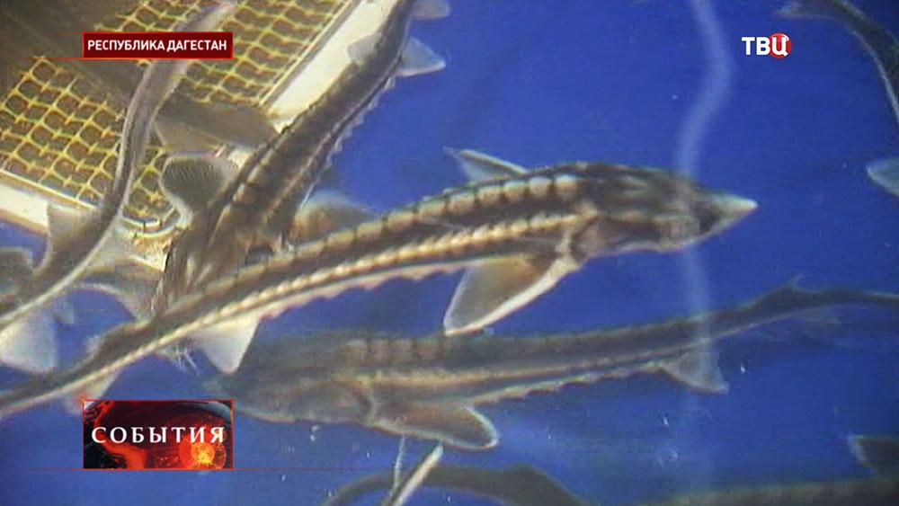 Разведение осетровых пород рыб в Дагестане