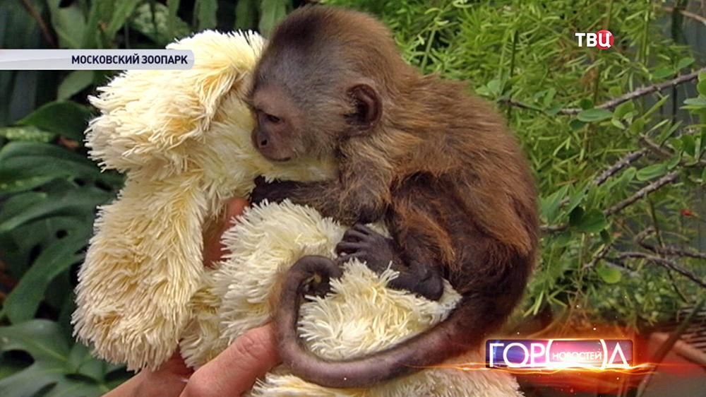 Детеныш капуцина в Московском зоопарке