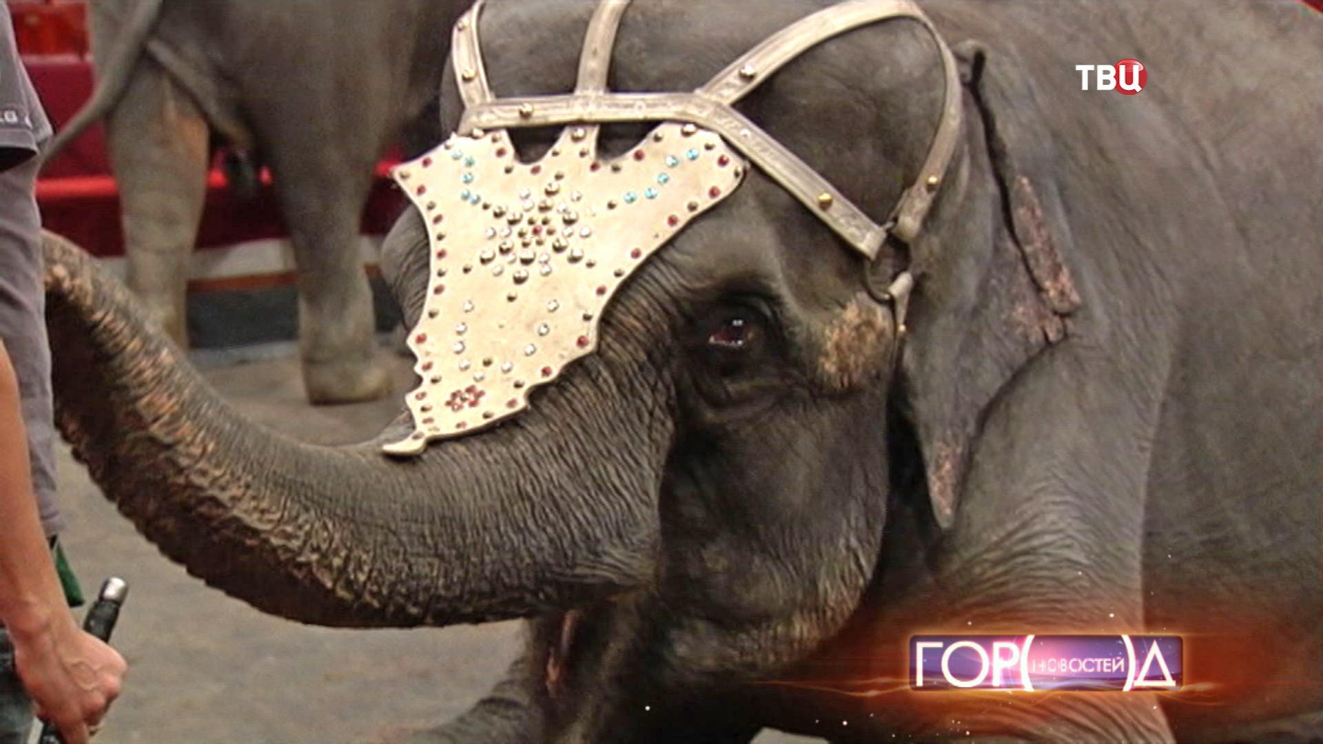 Репетиция слонов в цирке