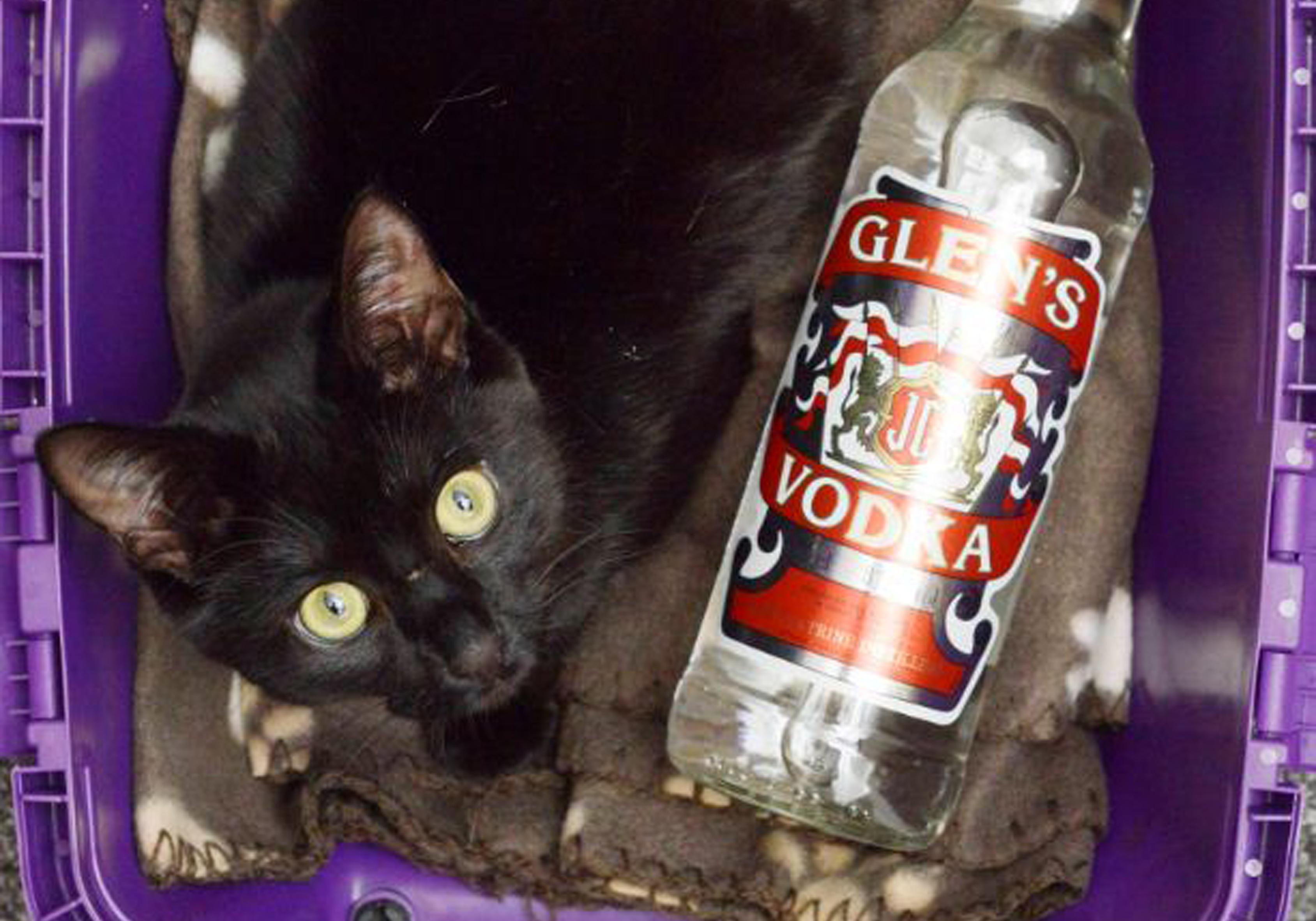 Британская кошка вылечилась с помощью водки