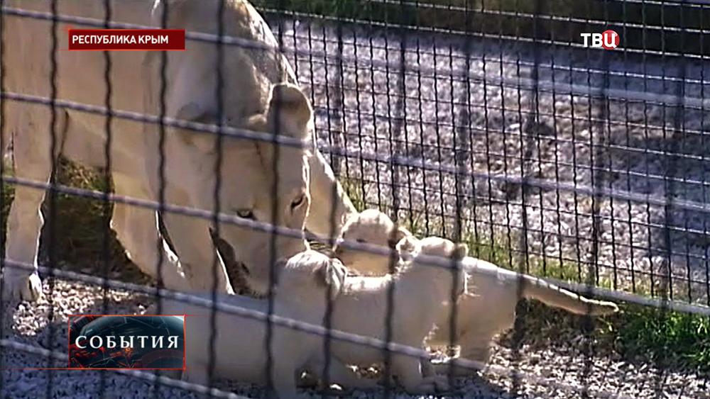 Белые львята в крымском зоопарке