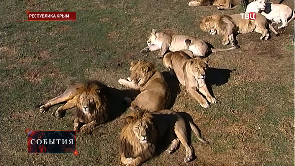 Львы в крымском зоопарке