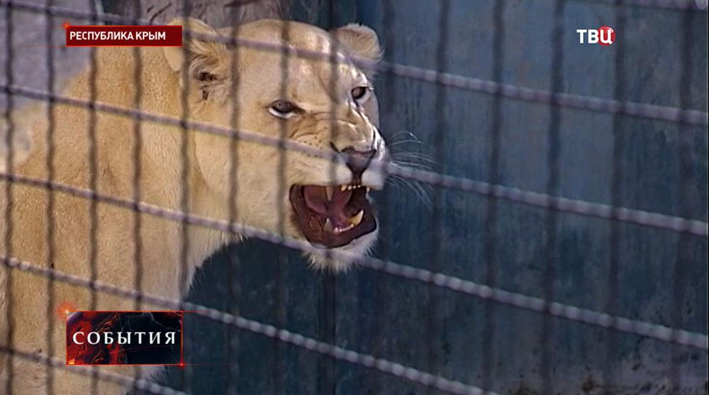 Белая львица в крымском зоопарке