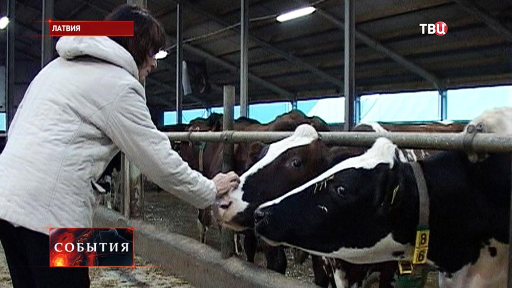 Животноводческая ферма в Латвии
