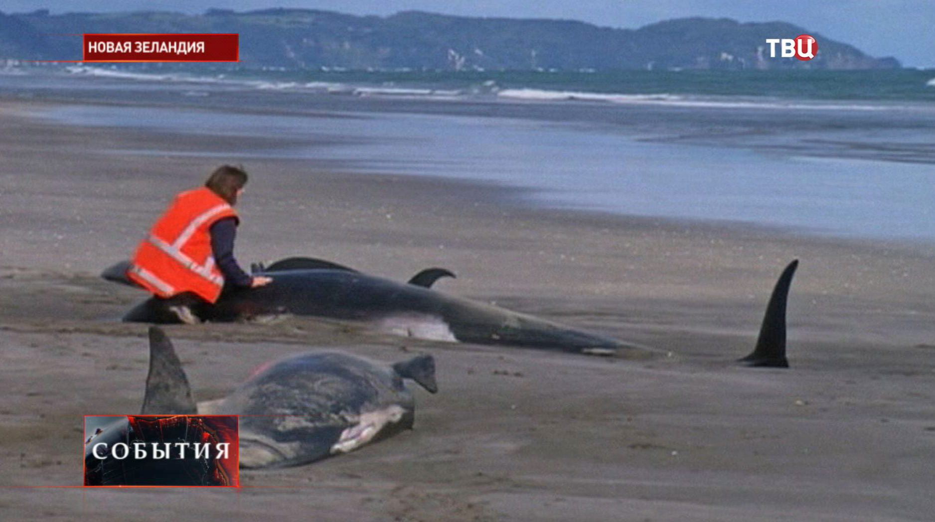 Десятки китов выбросились на сушу в Новой Зеландии