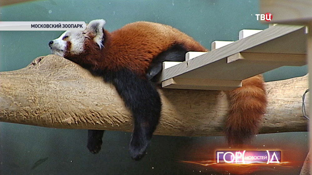 Красная панда в вольере Московского зоопарка