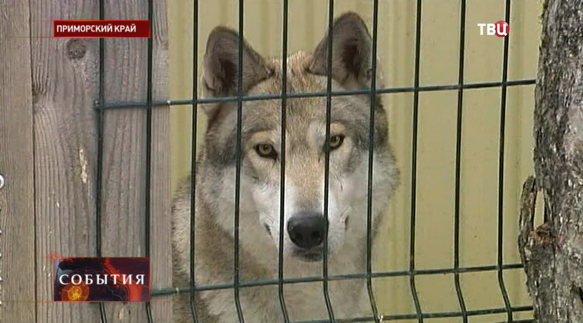 Волк в питомнике