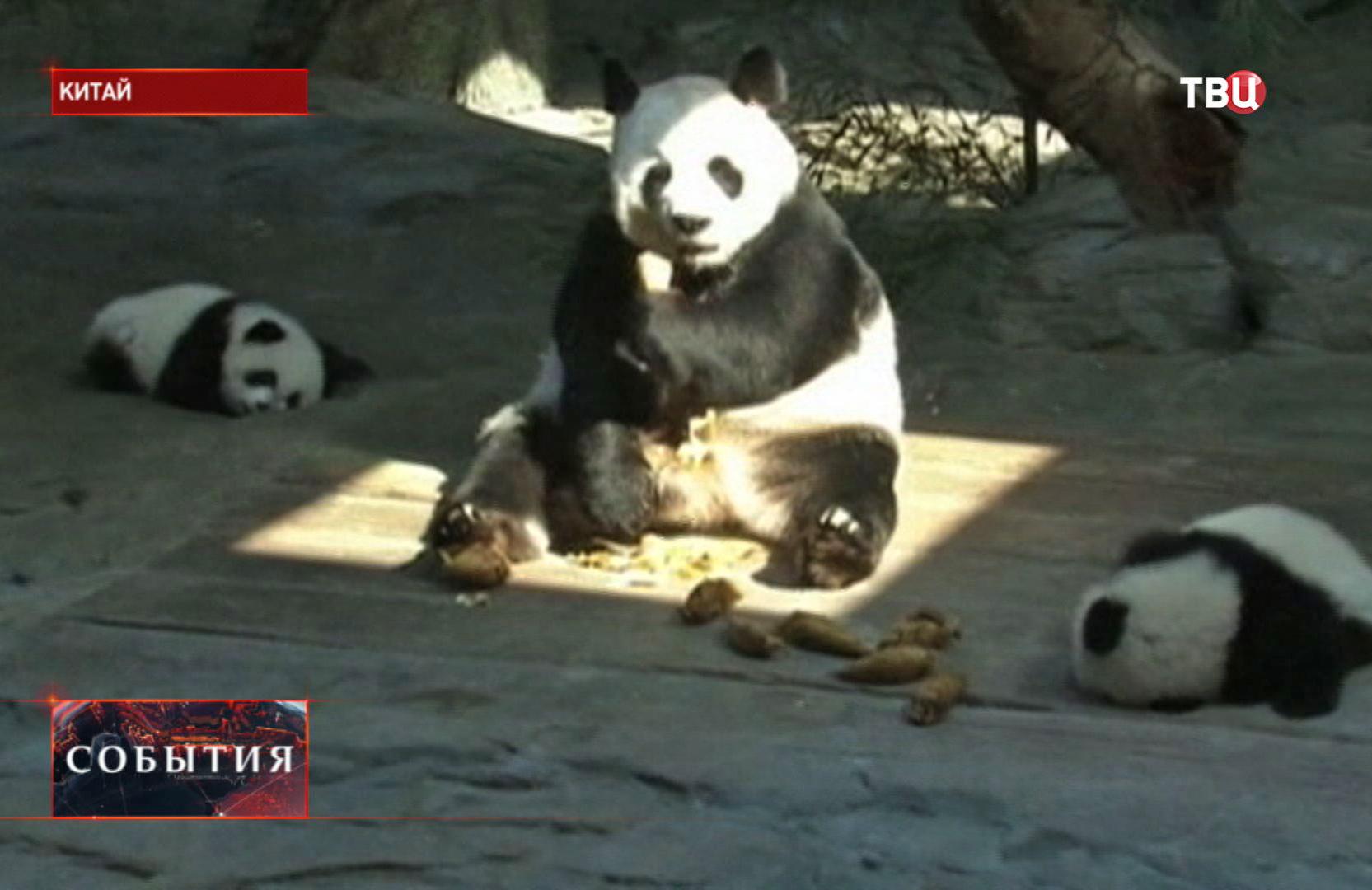 Панды в Китайском зоопарке