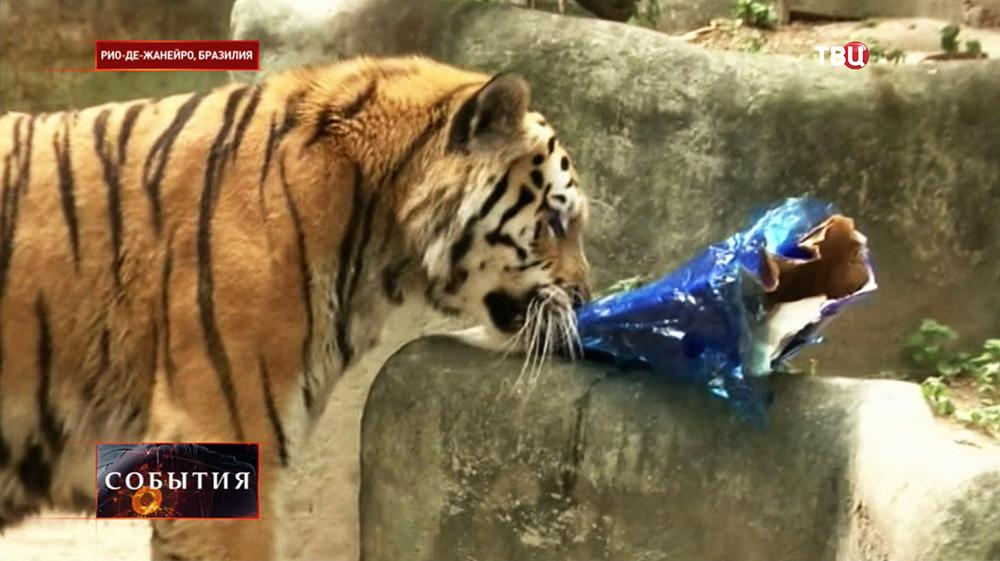 Тигр в Бразильском зоопарке получил рождественский подарок