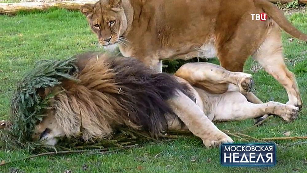 Львы чешутся об ёлку