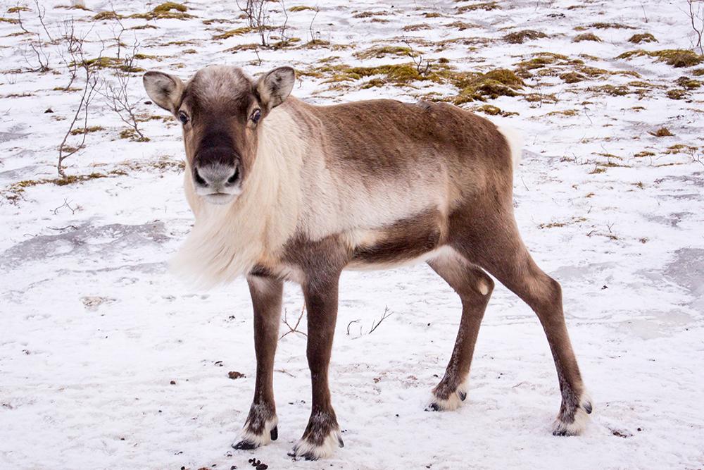 Молодой северный олень