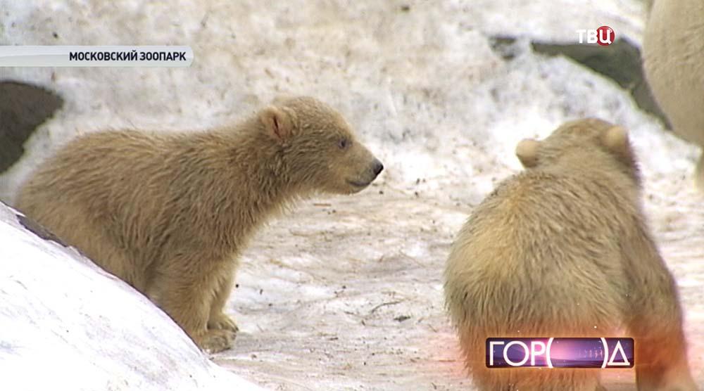 Белые медвежата в Московском зоопарке