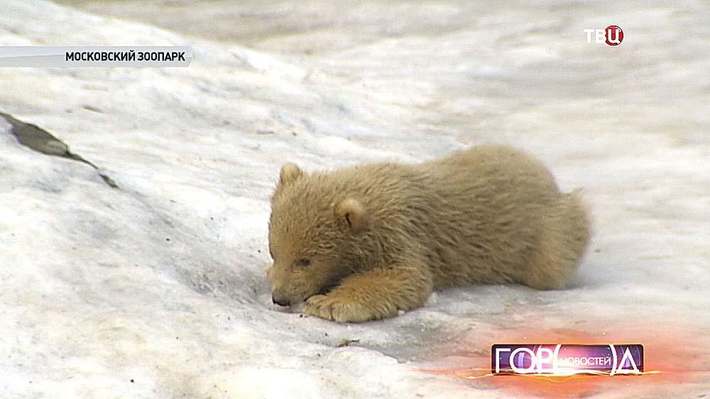 Белый медвежонок в Московском зоопарке