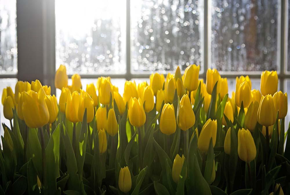 Тюльпаны в теплице