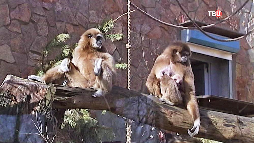 Гиббоны в вольере зоопарка