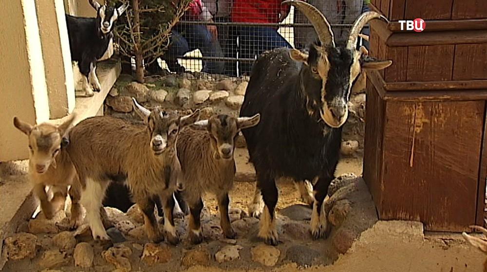 Камерунские козлята в Московском зоопарке