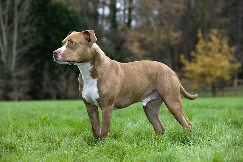 Собака породы питбуль