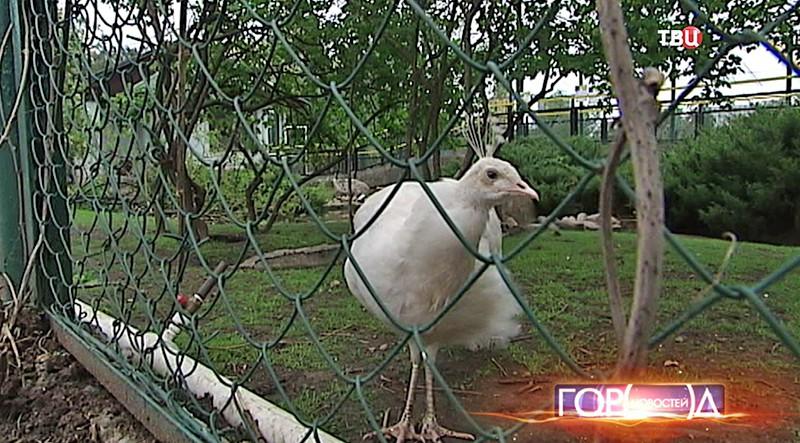 Белый павлин в Московском зоопарке