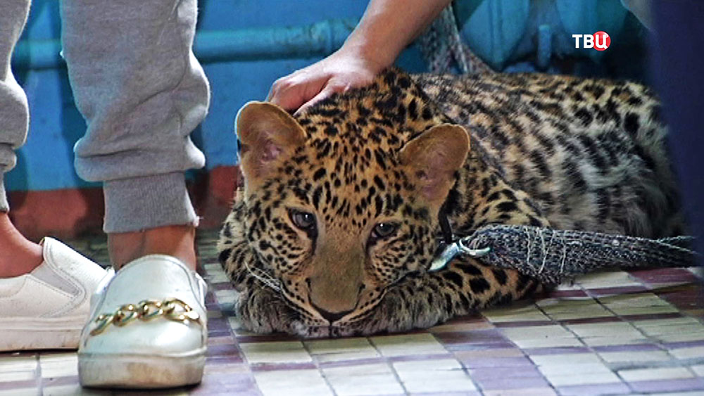 Сбежавший леопард