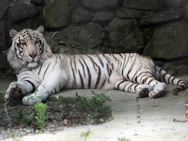 Белый тигр в зоопарке Ялты