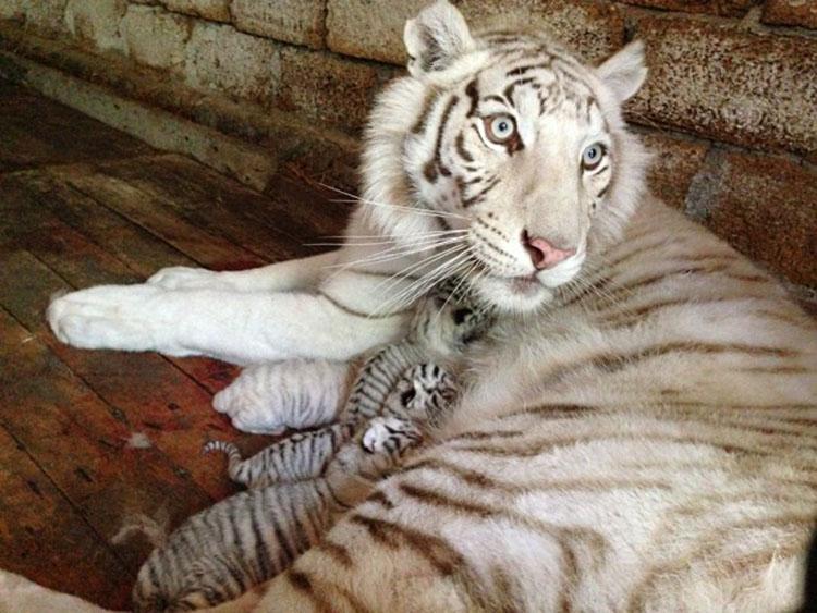 Белая тигрица с тигрятами