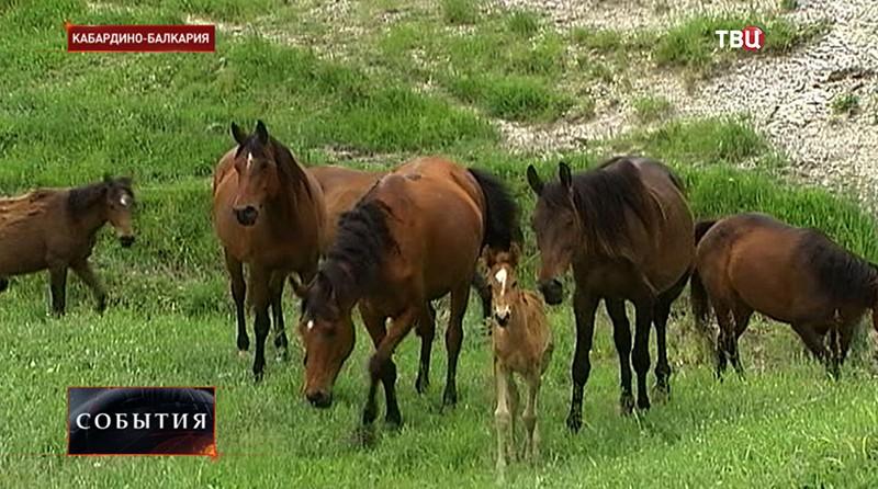 Лошади в Кабардино-Балкарии