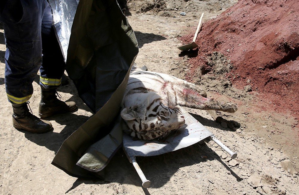 Сбежавший из зоопарка белый тигр убит в Тбилиси