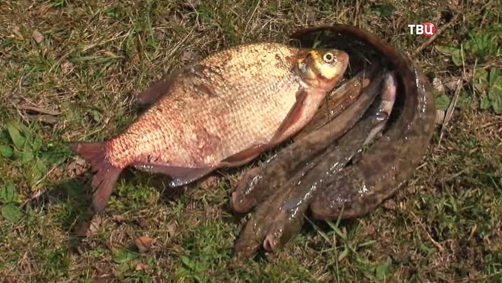 Мёртвая рыба