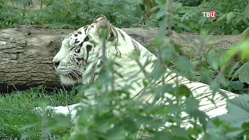 Тигр в Московской зоопарке