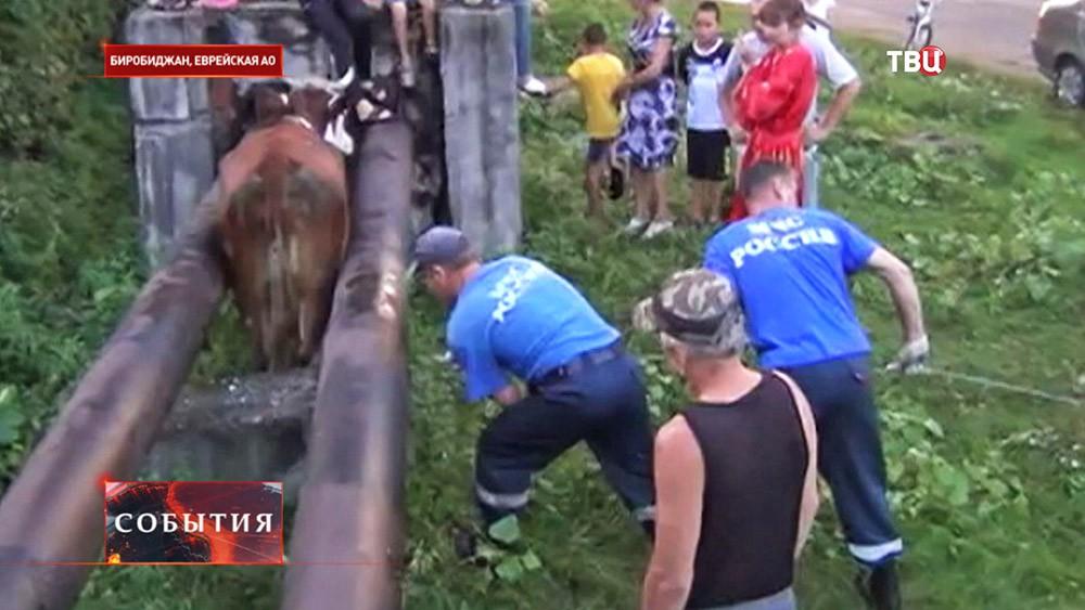 Спасатели МЧС достают застрявшую в теплотрассе корову