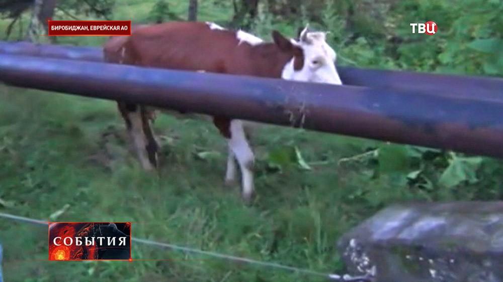 Корова застряла в теплотрассе