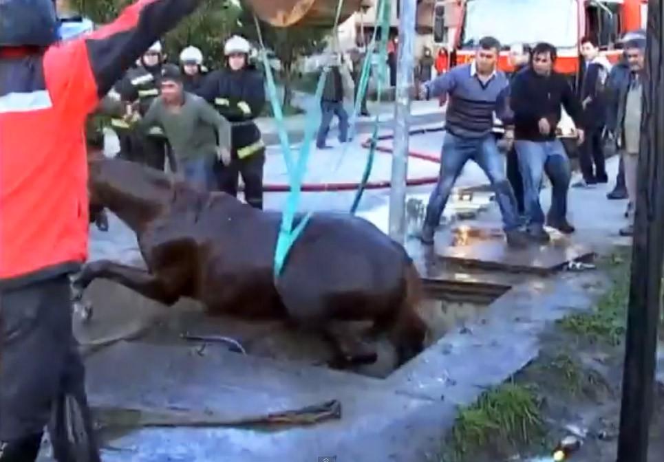 Чилийские спасатели достают провалившуюся лошадь