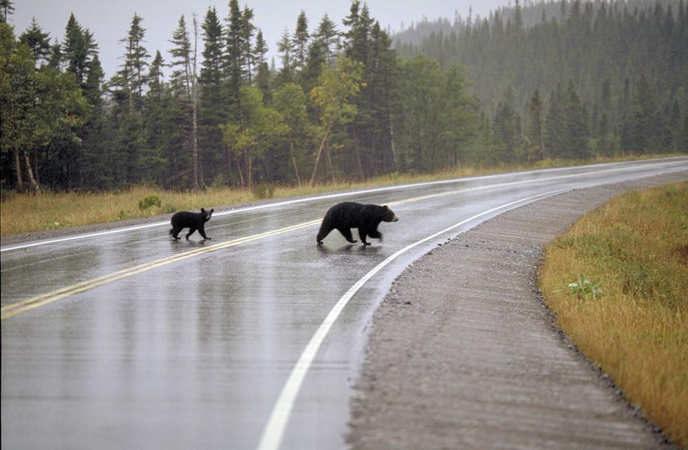 Медведи вышли на дорогу