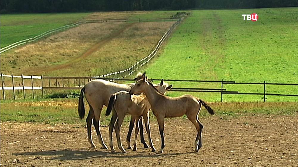 Жеребята на коневодческой ферме