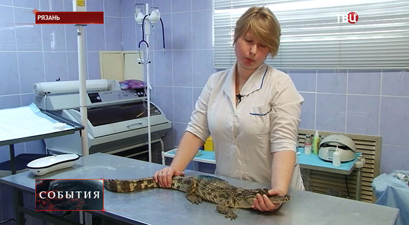Ветеринар осматривает крокодила