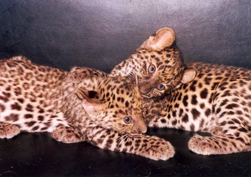 Котята дальневосточного леопарда